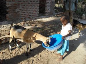 57 - Thirsty goat