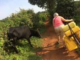 This cow was not keen on me passing it and bellowed at me! May it had never seen a Mzungu collecting water before!