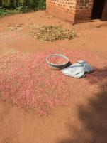 Beans drying. They are the staple diet in Uganda