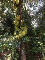 Jack fruit. A massive fruit and when they are ripe no one goes hungry!