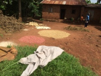 Beans, maize and g-nuts drying in the sun
