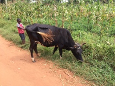 This boy is a pupil of Brain Trust but this day he had been left to care for the family cow as it grazed for food.