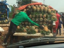 Delicious freshly harvested pineapples