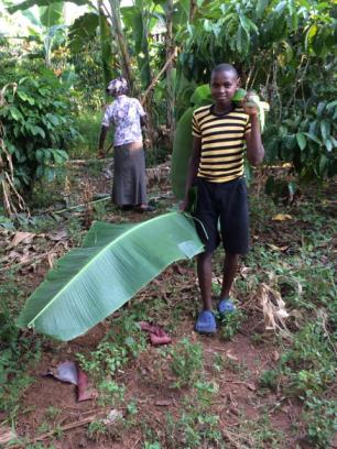 Alex collects the banana fronds and takes them back to prepare
